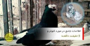 کبوتر - کفتر