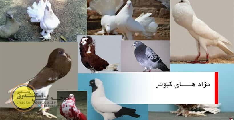 بررسی و معرفی انواع نژاد های کبوتر