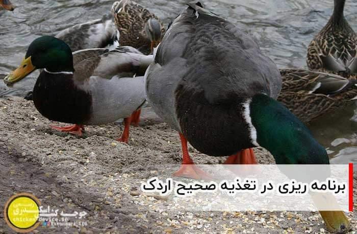 برنامه ریزی در تغذیه صحیح اردک
