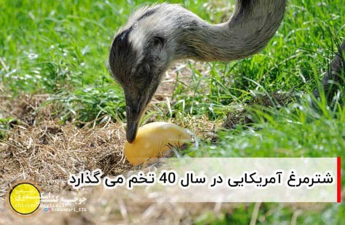 تخم گذاری شترمرغ آمریکایی