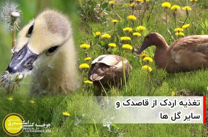 خوردن قاصدک توسط اردک