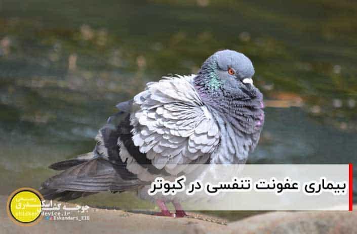 عفونت تنفسی کبوتر