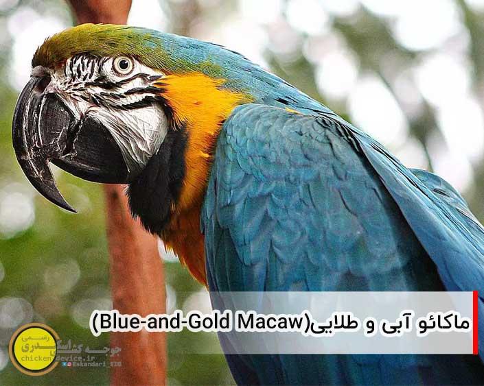 ماکائو آبی و طلایی