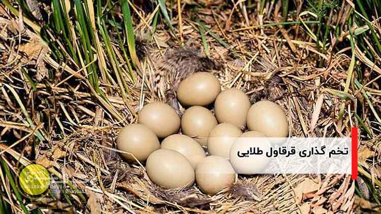 تخم گذاری قرقاول طلایی