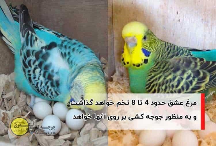 تخم گذاری مرغ عشق