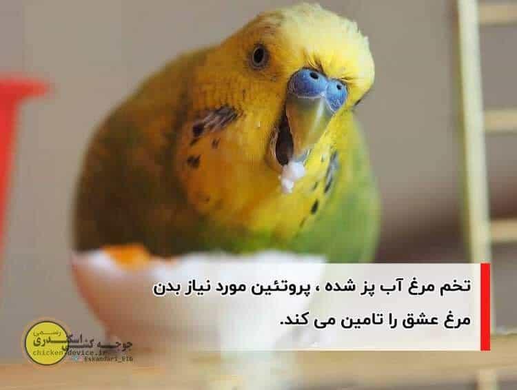 تغذیه مرغ عشق با تخم مرغ