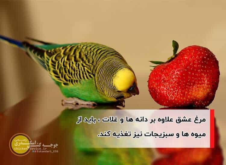 تغذیه مرغ عشق با میوه