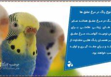 تنوع رنگ مرغ عشق