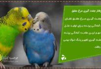 رفتار جفت گیری مرغ عشق