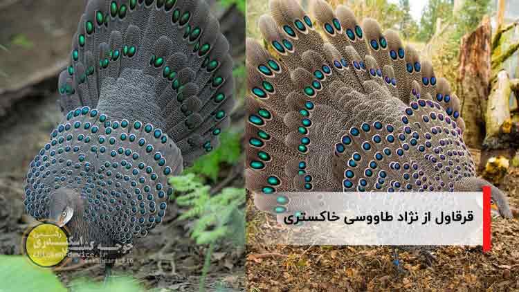 قرقاول نژاد طاووس خاکستری