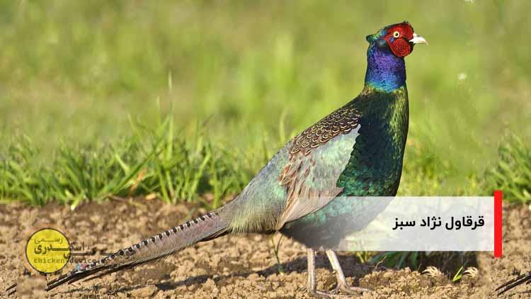 نژاد های قرقاول - نزاد سبز