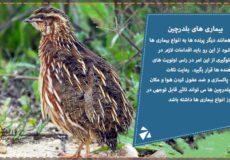 بیماری های بلدرچین