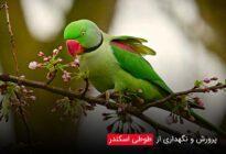 Breeding-Alexander-parrots