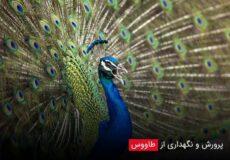 Breeding-and-keeping-peacocks