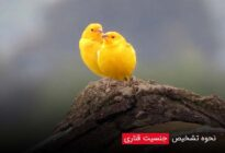 How-to-identify-canary-sex