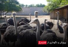 breeding-ostrich